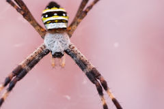 Une araignée de jardin Photos libres de droits