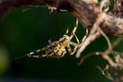 Une araignée de jardin Images stock
