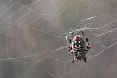 Une araignée de tisserand de globe sur le Web Photo libre de droits
