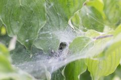 Une araignée en son Web sur Bush a attrapé la victime images libres de droits