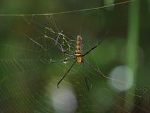 Une araignée, globe-tissage coloré, pilipesn de Nephila sur le Web dans Baan photographie stock libre de droits
