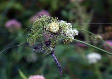 Une araignée jaune a attrapé une libellule photographie stock libre de droits