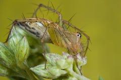 Une araignée orange de lynx sur le wildflower Photographie stock