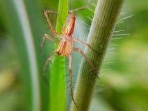 Une araignée orange sur l'herbe photographie stock libre de droits