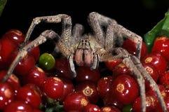 Une araignée panaméenne, boliviensis de Phoneutria, sur un groupe de baies photographie stock