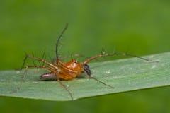 Une araignée rougeâtre de lynx Photographie stock libre de droits