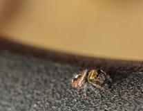 Une araignée sautante audacieuse colorée sur un fond noir et brun Image stock
