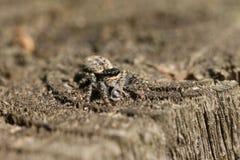 Une araignée sautante de Barrière-courrier minuscule, muscosa de Marpissa, étant perché sur une barrière en bois avec un insecte  photo libre de droits