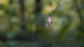 Une araignée se tenant sur le Web photos stock