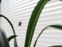 Une araignée sur une fenêtre en Web Images libres de droits