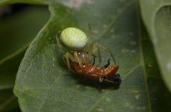 Une araignée verte minuscule suçant un insecte rouge  image stock