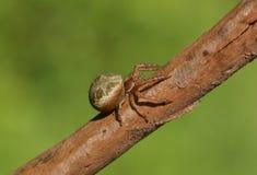Une araign?e de crabe, Thomisidae, ?tant perch? sur une branche au bord de la r?gion bois?e images stock
