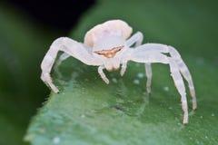Une araignée blanche de crabe Photos libres de droits