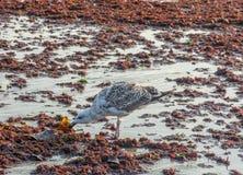 Une autre mouette cherchant pour Lunchh dans la marée rouge images stock