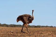 Une autruche en stationnement de safari d'Addo, Afrique du Sud Images stock