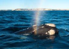 Une baleine droite dans le Patagonia Images libres de droits