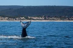 Une baleine lobtailing près au rivage image libre de droits
