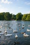 Une bande d'oies et de canard Photographie stock
