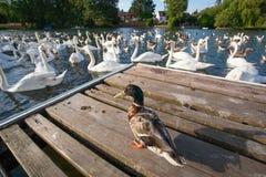 Une bande d'oies et de canard Image libre de droits