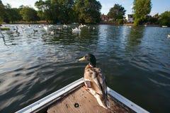 Une bande d'oies et de canard Photo stock