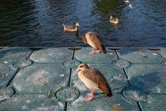 Une bande de canard Images stock
