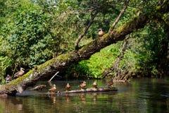 Une bande de canards Photos stock