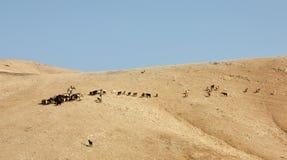 Une bande de chèvres Photo libre de droits