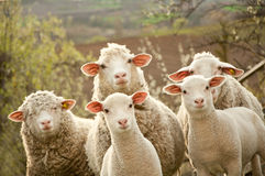 Une bande de moutons au pâturage Photos stock