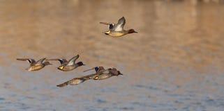 Une bande de sarcelles d'hiver eurasiennes en vol Images stock