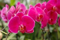 Une batterie des orchidées roses Photo libre de droits