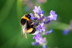 Une belle abeille rassemblant le pollen de la fleur de lavande Photos stock