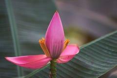 Une belle banane fleurissante et des feuilles vertes photographie stock libre de droits