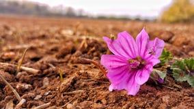 Une belle et colorée rose trémière Photo stock