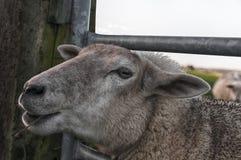 Une belle et drôle fin d'un mouton image stock