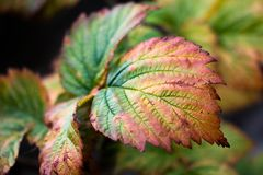 Une belle et petite feuille de buisson cramoisi a commencé à tourner jaune et couleur dans différentes nuances image libre de droits