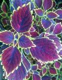 Une belle feuille de coleus Photographie stock