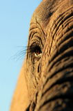 Une belle fin unique d'un éléphant africain Photos stock