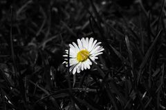 Une belle fleur colorée de marguerite et autour est couverte par couleur noire Photos stock