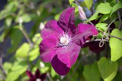 Une belle fleur d'un pavot sauvage sur un fond trouble vert images stock