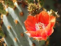 Une belle fleur de figue de Barbarie s'ouvre au Sun Photos libres de droits