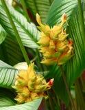 Une belle fleur de gingembre Photographie stock
