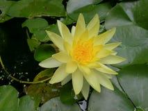 Une belle fleur de lotus jaune dans l'étang Photos stock
