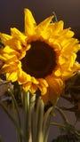 Une belle fleur de Sun Images stock