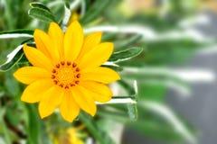 Une belle fleur jaune de Gazania à l'arrière-plan vert brouillé photo stock
