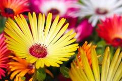 Une belle fleur jaune de marguerite Photographie stock
