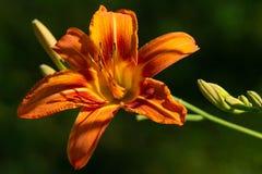 Une belle fleur orange simple d'hémérocalle Photos stock