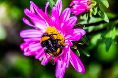 Une belle fleur rose avec l'abeille Photo libre de droits