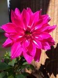 Une belle fleur rose avec le sourire image stock