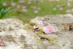 Une belle fleur rose de fleur de tabebuia tombant de l'arbre grand dans la vieille table en bois dans l'endroit extérieur image libre de droits