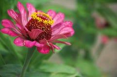 Une belle fleur rose fleurie de Zinnia Photographie stock libre de droits